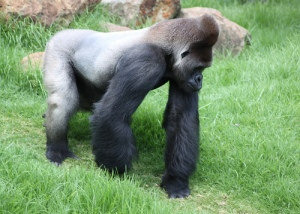 Old SILVERBACK