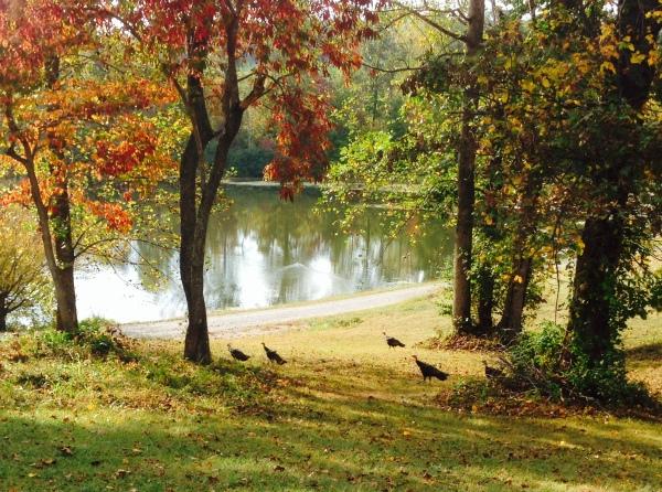 Turkeys_in_Autumn_01